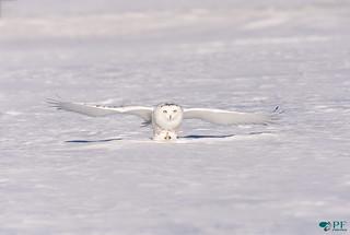 ''Le Majestueux!'' Harfang des neiges - Snowy Owl