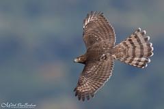 Coopers Hawk (Mitch Vanbeekum Photography) Tags: hawk inflight flight flying fly wildlife wild canon14teleconvertermkiii canonef500mmf4lisiiusm canoneos1dx mitchvanbeekum mitchvanbeekumcom raptor alpine nj newjersey coop coopers coopershawk
