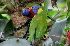 Lorikeets (Bri_J) Tags: tropicalbutterflyhouse northanston sheffield southyorkshire uk butterflyhouse nikon d7200 yorkshire lorikeet bird