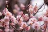 20160206-IMG_4893 (nut_cookie) Tags: flower flowers nature macrophotography plumblossoms