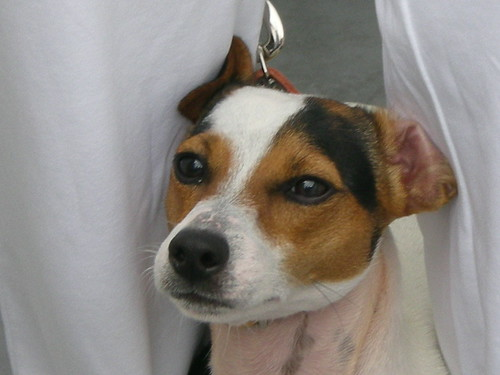 Cane Jack Russell Terrier Recent | Interesting | Random · RSCN1703