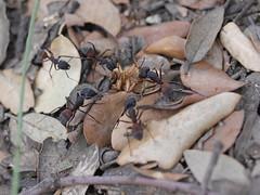 P1030897 (Dr Zoidberg) Tags: hormigas escarabajo zuiko50mmmacro