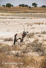 South Africa - Gemsbok in Khalagadi Transfrontier Park (Remsberg Photos) Tags: africa park wild southafrica wildlife adventure explore rest roam horned matamata gemsbok