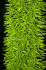 CW172 Christmas at Longwood Gardens (listentoreason) Tags: usa plant color green nature closeup america canon unitedstates pennsylvania favorites places longwoodgardens ef28135mmf3556isusm score30