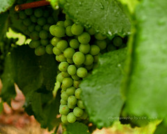 Young Grapes from Weathervane Vineyardj (CDE1231) Tags: green photography vineyard nc wine lexington grapes cde weatherbane