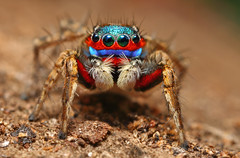 Mr.Rainbow (karthik Nature photography) Tags: color macro nature animals closeup forest garden photography spider spiders wildlife jumpingspider macrophotography salticidae macroworld animalworld spiderworld canonmt24ex insectphotography canonmpe65 macrolife malejumpingspider canon5dmark3 colorfuljumpingspider beautifuljumpingspider jumpingspidersinindia