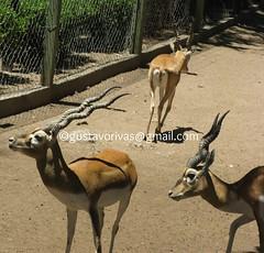 Gacela de Thomson 04 (grivas2k) Tags: animal mammal gazelle gacela mamifero thomsons gaceladethomson