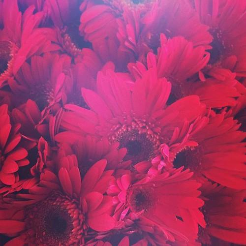 #gerberdaisies #daisies #flowers #beauty