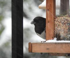 Snowbirds-3908