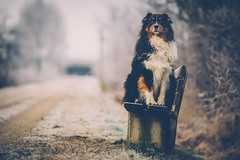 Don´t Move (Stefan (ON/OFF)) Tags: dof bokeh dog aussie australianshepherd shepherd bordercollie collie blacktri eyes hund hütehund sony a7 a7m2 a7ii sonya7markii saymang samyang1352 samyang2135 135mm f2