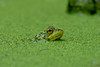 Periscope Up! (Explored) (soupie1441) Tags: london ontario canada nikon d7200 green frog duckweed pond water amphibian td fef friends environment foundation photo 2017 calendar trust closeup dof 700300mm nikkor explore explored