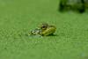 Periscope Up! (Explored) (soupie1441) Tags: london ontario canada nikon d7200 green frog duckweed pond water amphibian td fef friends environment foundation photo 2017 calendar trust closeup dof 700300mm nikkor explore explored