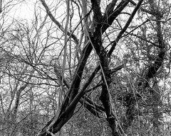 Touching Trees (Hyons Wood) (Jonathan Carr) Tags: tree abstract abstraction landscape rural northeast black white bw largeformat 4x5 5x4 toyo45a monochrome