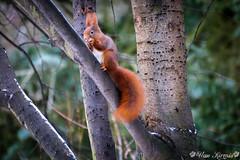 Eichhörnchen (ukalpha) Tags: eichhörnchen winter sciurus vulgaris