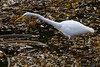 Great Egret (Been there, photographed that...) Tags: pointlobos
