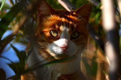 The green eyed cat... (Michael Kalognomos) Tags: greece portrait leaves camouflage glance bokeh dof surprise voula light sunbeam canoneos70d ef24105mmf4l greeneyes depthoffield redcat