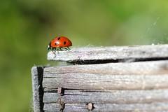 ladybug (Angelo Petrozza) Tags: coccinella ladybug focus karlzeiss100macroplanart pentax k70 macro angelopetrozza insect insetto coleoptera