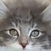 NL* Titran's Horatio male kitten 12 weeks old