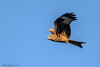 Red kite at harewood-3 (mido2k2) Tags: mido2k2 fantastic villager explore flickr redkite red kite flight bird avian feathered raptor prey hawk falcon hunter carrion soar awesome stunning nikon d5300 sigma 150500mm west yorkshire muddy boots harewood photography nature natural wild wildlife ornithology animal outdoor eagle