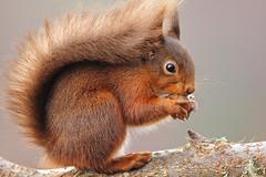 Close encounter (Pog's pix) Tags: redsquirrel squirrel scotland kilchrenan mammal red animal wildlife wild nature eating behaviour cute fluffy hazelnut nut argyllandbute sciurusvulgaris sciurus svulgaris closeup detail branch