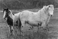 Pride (JDWCurtis) Tags: horse horses blackwhite bw animal farm farmanimal farmanimals animals steads wales southwales cardiff