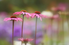 Pink Delight.. (KissThePixel) Tags: pink flower flowers daisy depthoffield dof macro summer spring garden meadow wildflower love beautiful wildlife nature naturephotography dreamy soft softbokeh realbokeh bokeh aperture nikond750 sigma sigmaart