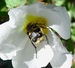 Trichius rosaceus.   Scarabaeidae. Cetoniinae . Female (gailhampshire) Tags: trichius rosaceus scarabaeidae cetoniinae female taxonomy:binomial=trichiusrosaceus