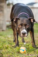 PSVC_20170106_IMG_2839.jpg (publicserviceco) Tags: doggo portrait backyard ball dog pitbull cute blackgrass rescuedog play adopt