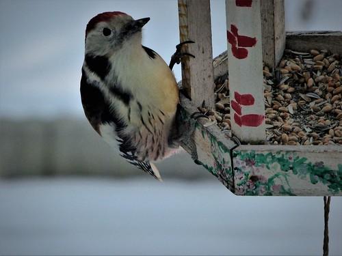 Junger Mittelspecht am Vogelhaus