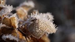 icy conditions (bugman11) Tags: ice winter flower flowers flora macro canon bokeh nederland thenetherlands 100mm28lmacro nature haarlem crystal crystals 1001nightsmagiccity 1001nights thegalaxy platinumheartaward ruby5 ruby10