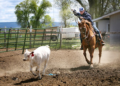 Healer Charge (Ambesi) Tags: raching cattle roping cattleroper roper ranchlife horse cowboy