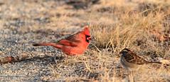 Return of the grumpy Northern Cardinal (danstambaugh) Tags: audubon cardinal birding birdwatching nature pa patnc