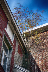 dakgootboom (roberke) Tags: boom tree dak roof nature natuur outdoor sky lucht wolken cloud huis house muur wall window raam venster