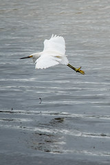 Snowy Egret (Aigrette neigeuse) Flying, Emeryville (takasphoto.com) Tags: action aigretteneigeuse air animal animalia ave bird birding blanc blanco color czaplaśnieżna còtuyết egrettathula flight fly flying fögler garçabrancapequena heron lagarcetanívea migratorybird nature oiseau outdoor schmuckreiher snowyegret sütbeyazıbalıkçıl white wild wildlife chusmita garcetanivosa garcitablanca garzachica garzadedosdorados белаяамериканскаяцапля برفیبگلا بلشونثلجي قاربرفی トリ ユキコサギ 動物 白 自然 雪鹭 鳥 鳥類