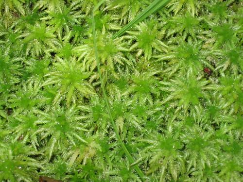 plant nature moss sphagnum
