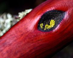 manzanita watching (Sara Heinrichs (awfulsara)) Tags: wood red tree yellow forest lichen manzanita canon1740f4l