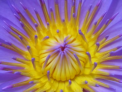 Tahiti.2004-12-08.0089 (DigitalTribes) Tags: travel pink flowers flower 2004 yellow island polynesia purple lilly tropical tahiti dt tahitian digitaltribes markoneil