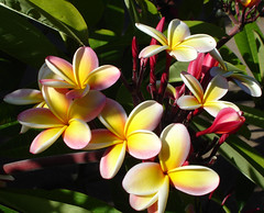 Plumeria flowers (roddh) Tags: pink flowers light sun yellow topv111 canon hawaii plumeria topv1111 pro1 roddh
