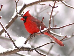 It's still winter (nature55) Tags: red germantown nature birds tag3 ilovenature outdoors tag2 tag1 cardinal wildlife aves wi magicdonkey 1on1halloffame specanimal flickrgold colorphotoaward