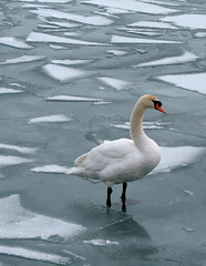 pining the fjords (Rupauk) Tags: winter toronto canada cold ice water birds swan rohit harborfront
