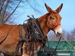 Unhappy Mule