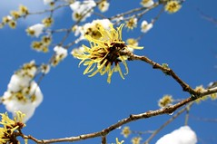 Hamamelis III (tillwe) Tags: blue winter sky white snow flower macro nature yellow germany march top20flower freiburg schwarzwald blackforest tillwe hamamelis witchhazel 1on1 zaubernuss gnterstal 200603