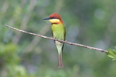 Chestnut Headed Bee-eater (Birchsprite) Tags: bird wow srilanka yala beeeater chestnutheadedbeeeater meropsleschenaulti specnature chestnutcrownedbeeeater specanimal leschenaulti meropsleschenaultileschenaulti merops leschenaulti