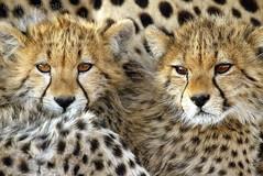 Cheetah cubs (Michael Poliza) Tags: africa wildlife delta safari botswana okavango