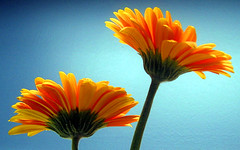 gerberas (JKnig) Tags: blue orange flower color tag3 taggedout work tag2 tag1 gerbera gerberadaisy interesting1 stalkater creepalis