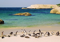 penguin party - south africa (chillntravel) Tags: africa travel southafrica penguin interestingness amazing interesting topf50 topv1111 topv444 simonstown bouldersbeach jackasspenguin topf40 1000places specnature top20travelpix