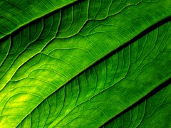my veins run like the river amazon (joaobambu) Tags: brazil plant macro verde green texture nature topf25 topv111 closeup brasil topv2222 canon river ilovenature blog leaf interestingness interesting topf50 flora topv555 topv333 topf75 quality topv1111 natureza stock topv999 2006 structure rivers blogged vein topv777 veins supermacro topf15 rios pro1 blogmorgainelefayene