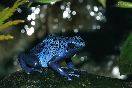 Blue poison dart frog habitat