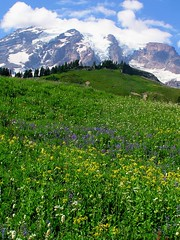 Sound of music? (Matt Champlin) Tags: flowers blue mountains flower color green nature water landscape outdoors washington mountrainiernationalpark environment wildflowers mtrainernationalpark calendarshots
