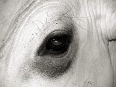 Cow´s Eye (joaobambu) Tags: brazil blackandwhite bw white black eye leather animal brasil cow cattle 2006 pb creature pretoebranco bicho vaca boi couro gado